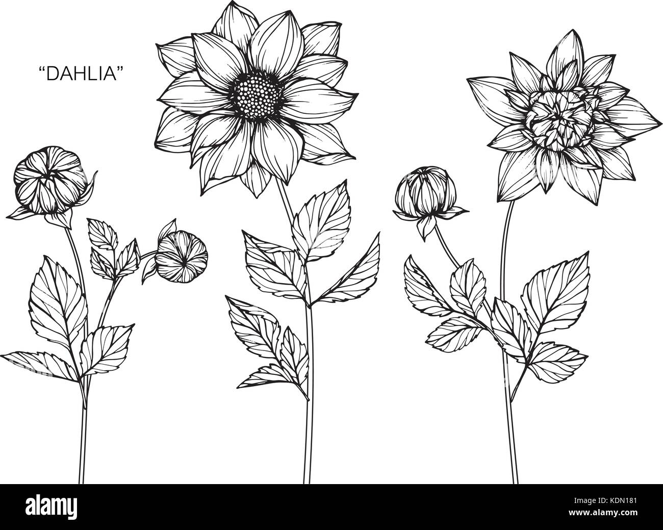 Dahlia Flower Drawing Illustration Black And White With Line Art