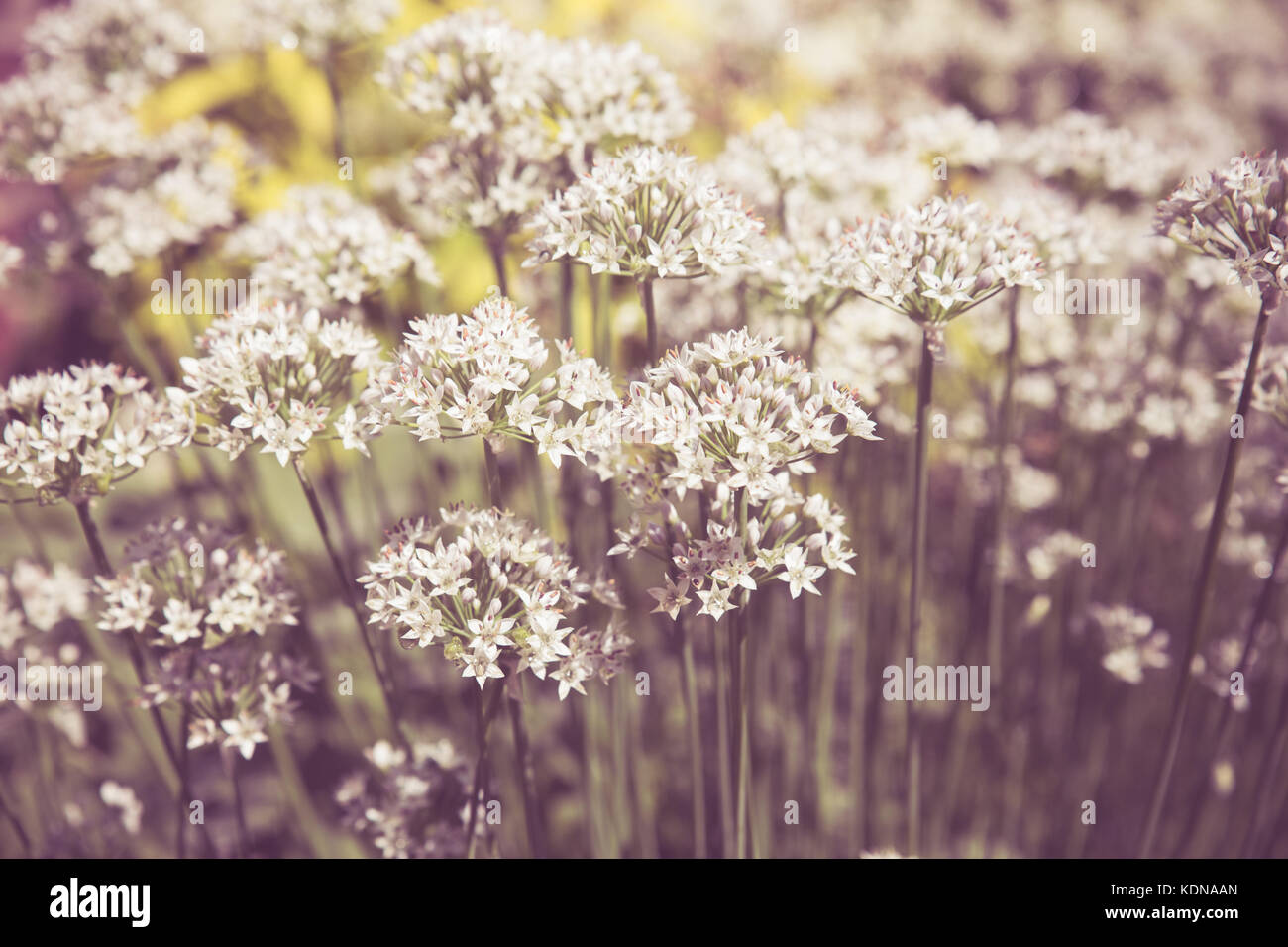 Vintage Toned Small White Flowers Growing In Garden Stock Photo