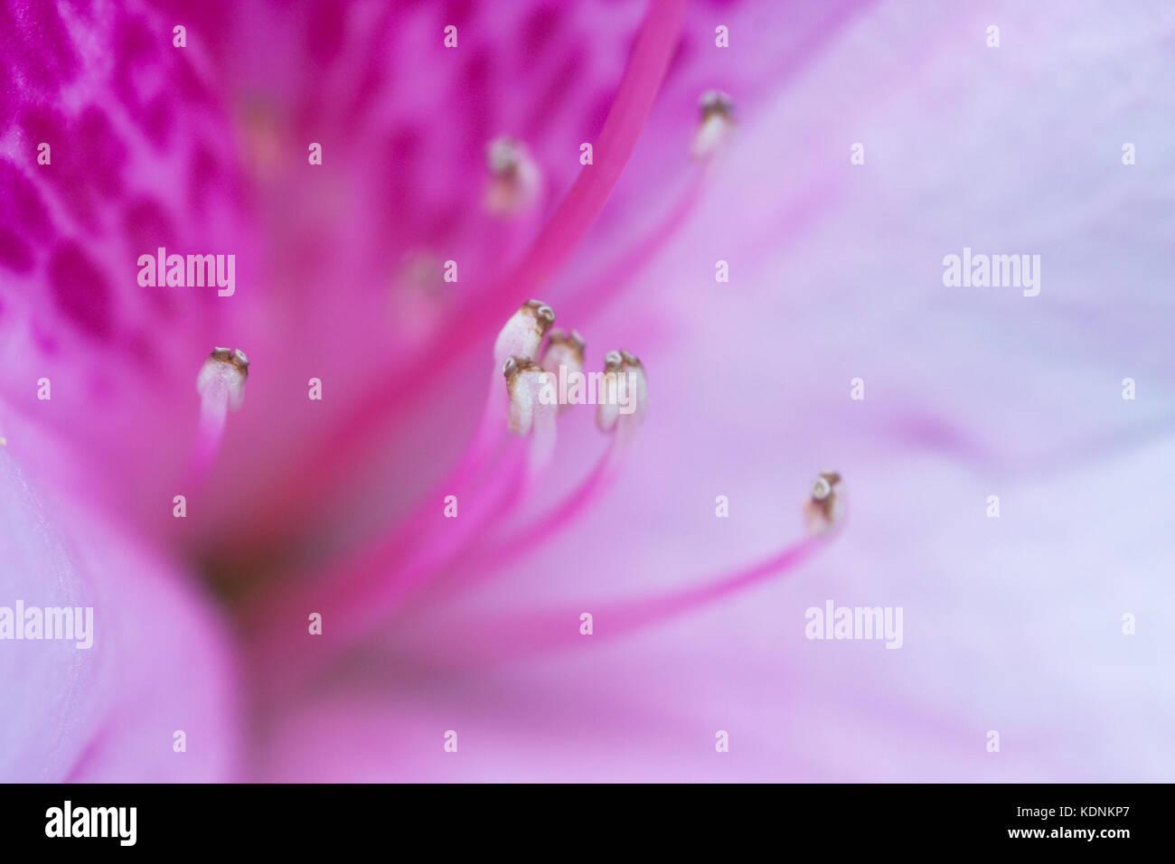Pink Azalea Flowerrhododendron Sp Close Up Cultivar Hopkins