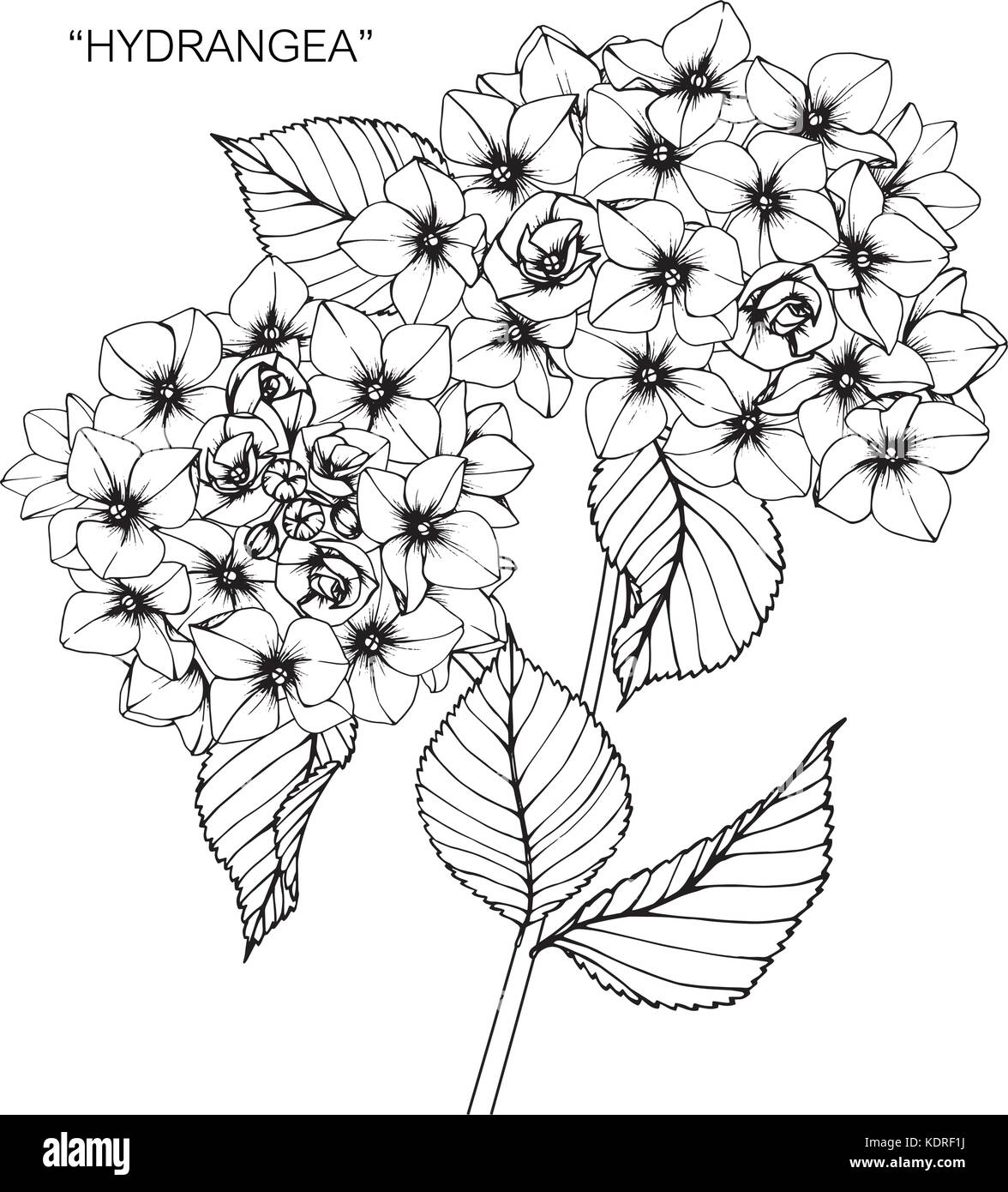 Hydrangea flower drawing illustration black and white with line hydrangea flower drawing illustration black and white with line art mightylinksfo