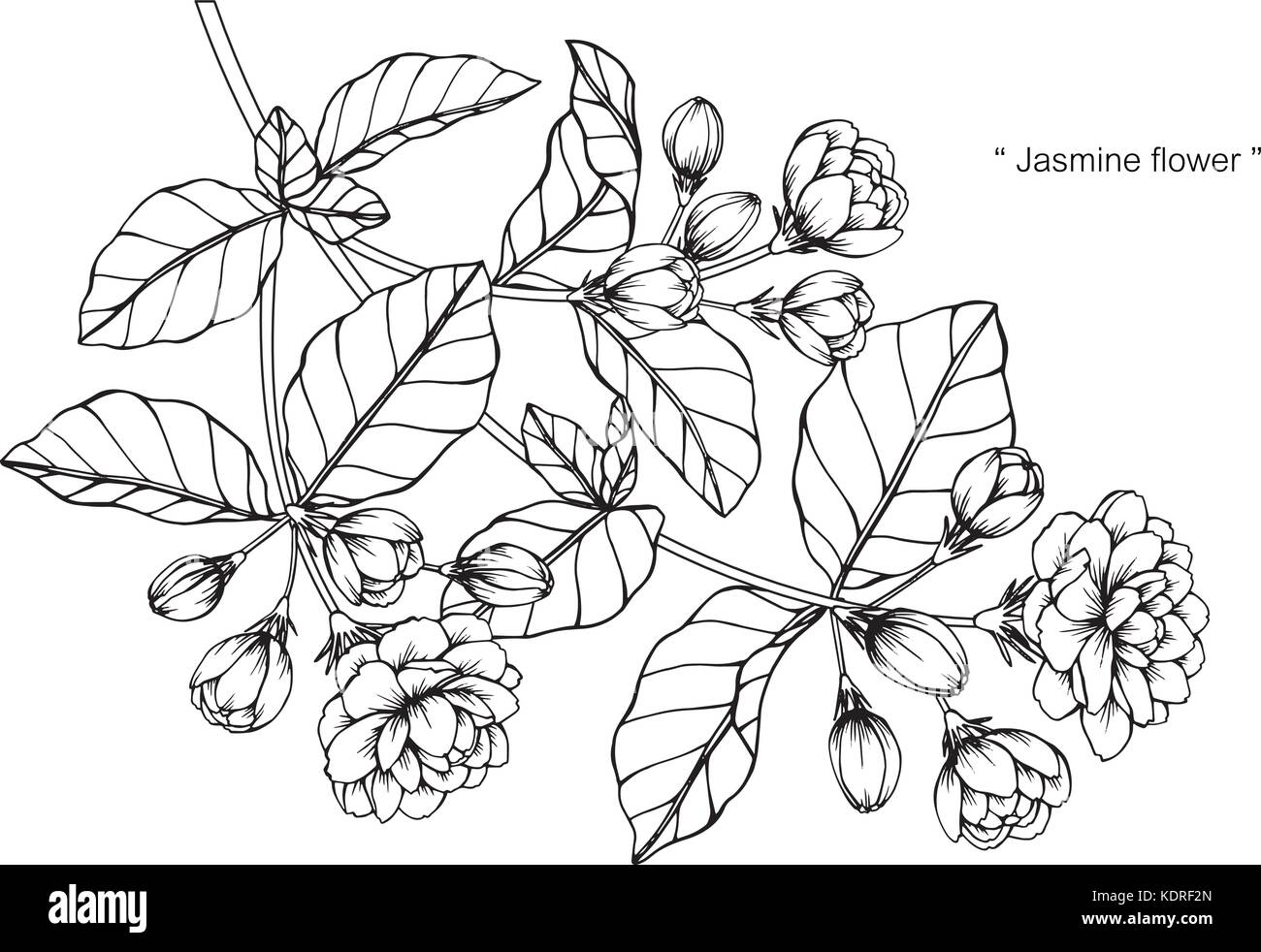 Jasmine Flower Drawing Illustration Black And White With Line Art