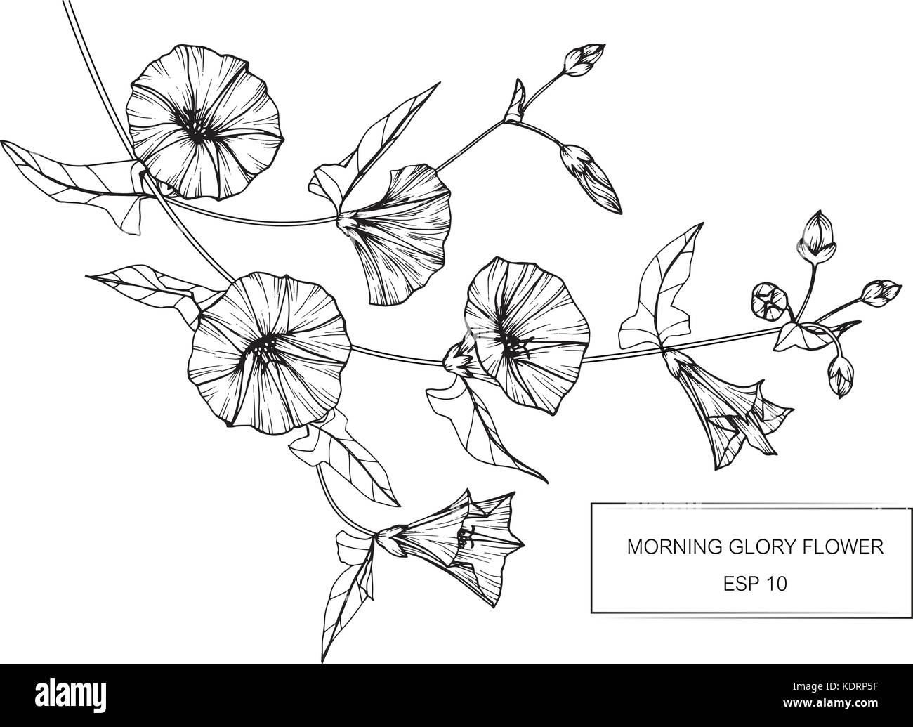 morning glory flower black and white stock photos amp images