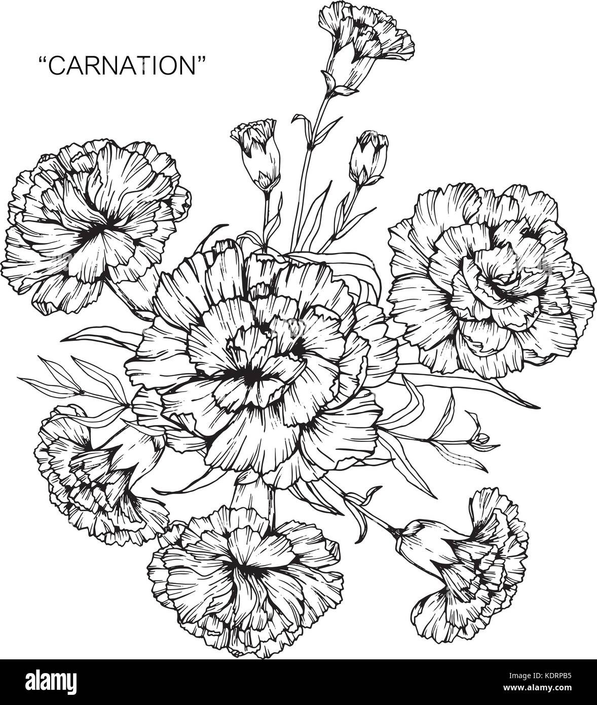 Bouquet of carnation flowers drawing stock vector art illustration bouquet of carnation flowers drawing izmirmasajfo