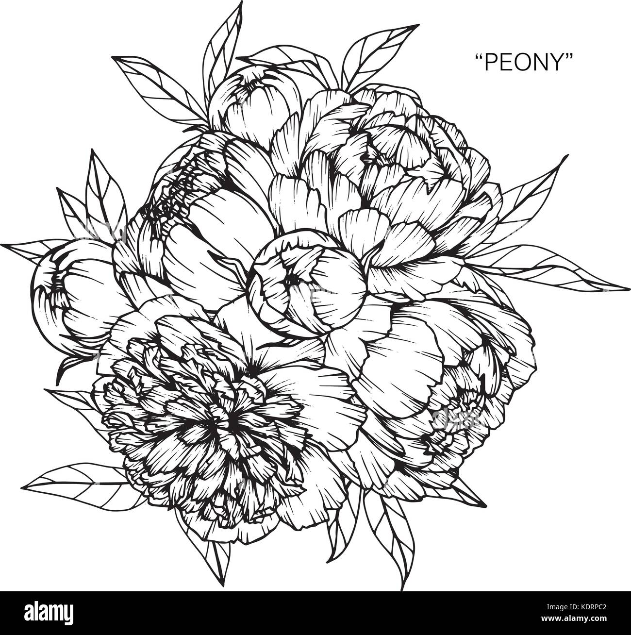 Bouquet of peony flowers drawing stock vector art illustration bouquet of peony flowers drawing izmirmasajfo