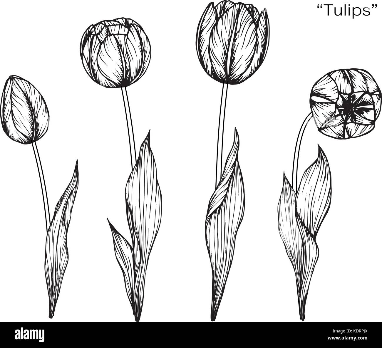 Line Drawing Of Tulip Flower : Tulip flower drawing illustration black and white with