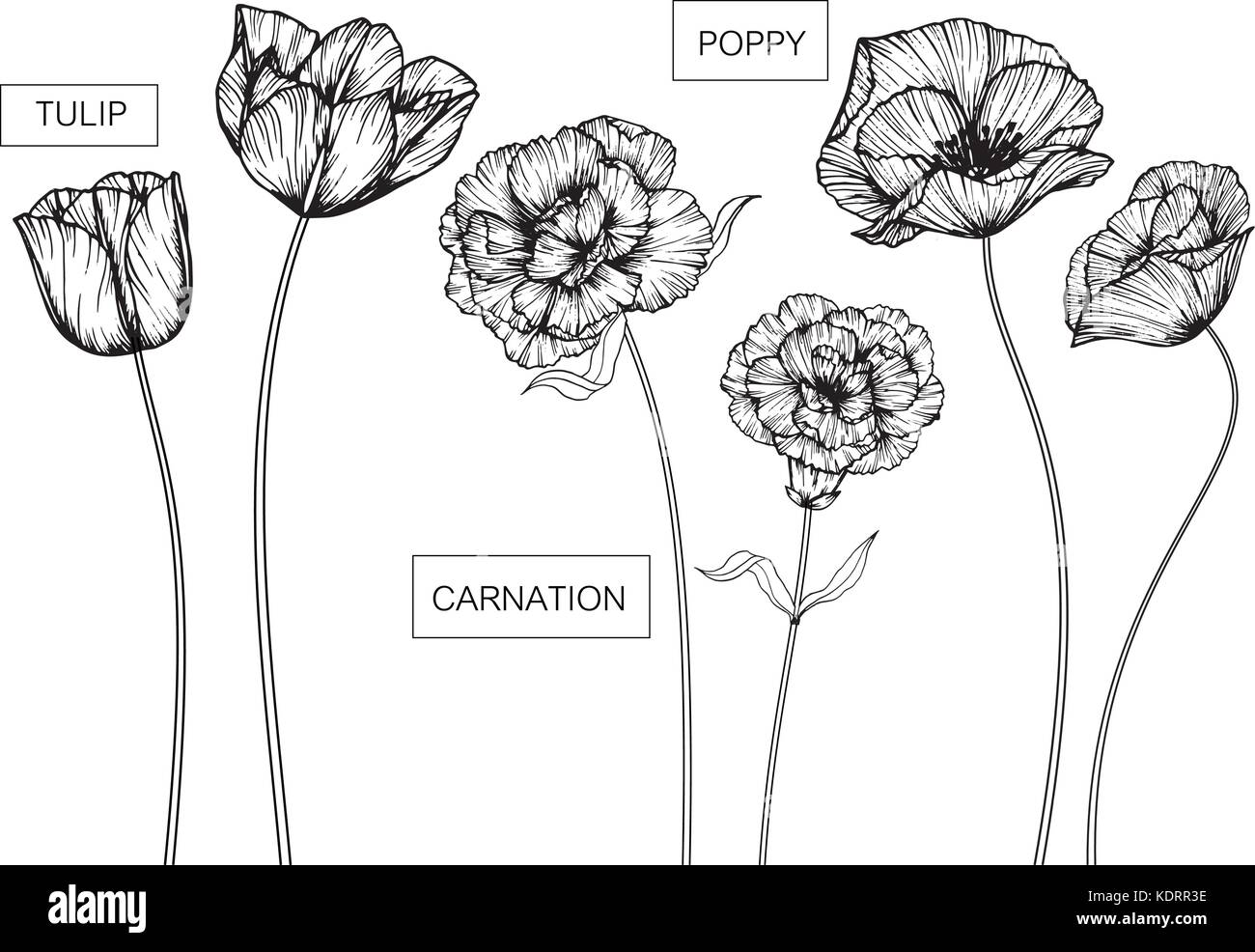Tulip Carnation And Poppy Flowers Drawing And Sketch With Line Art