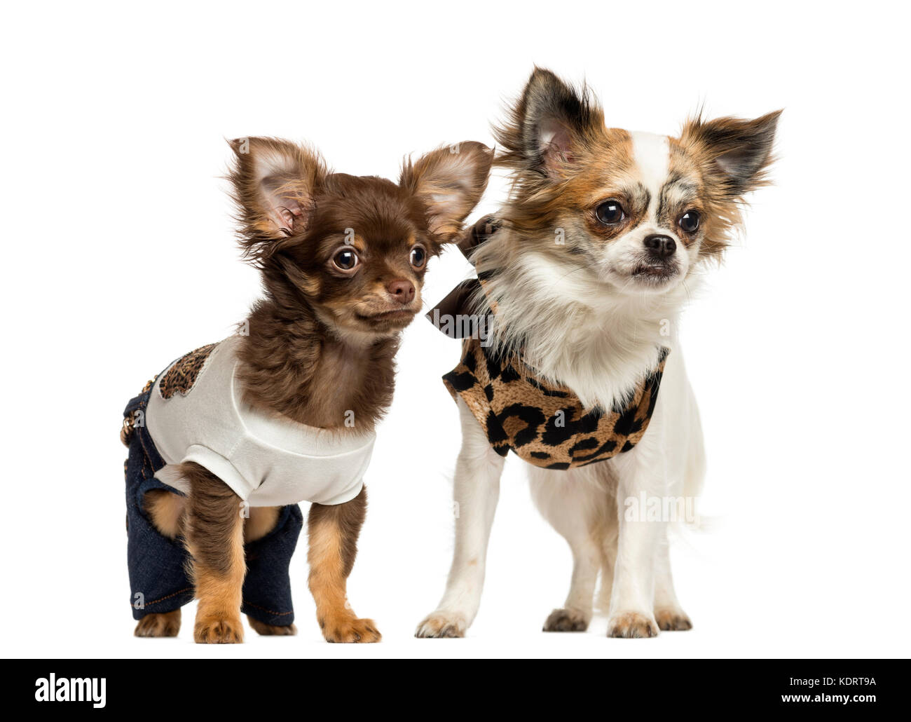 Dressed Up Chihuahua Puppies Standing 3 And 9 Months Old Isolated