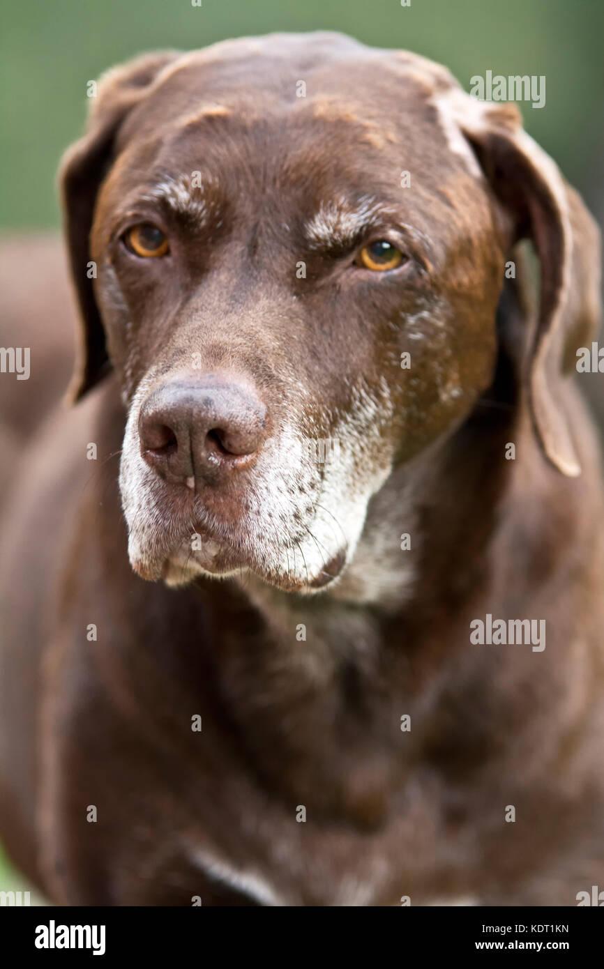 Labrador Cross Dog Stock Photos Amp Labrador Cross Dog Stock