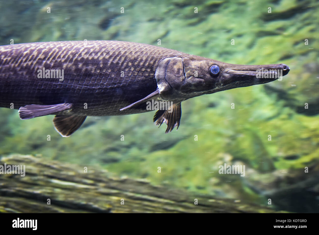 Arapaima Fish Stock Photos & Arapaima Fish Stock Images ...