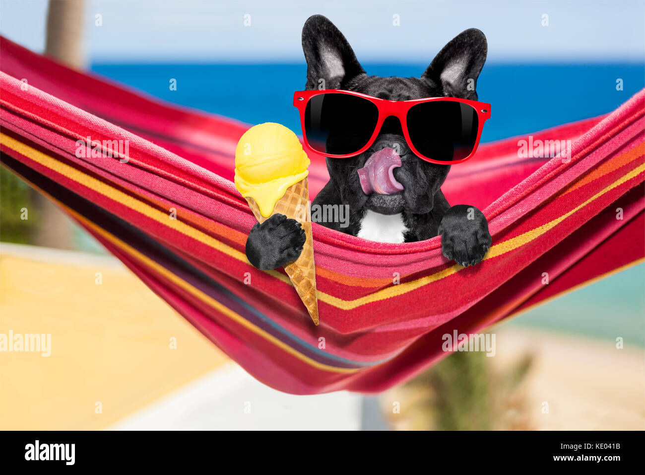 french bulldog dog on hammock at the beach relaxing on summer vacation holidays eating a fresh lemon or vanilla ice cream on a cone waffle french bulldog dog on hammock at the beach relaxing on summer      rh   alamy