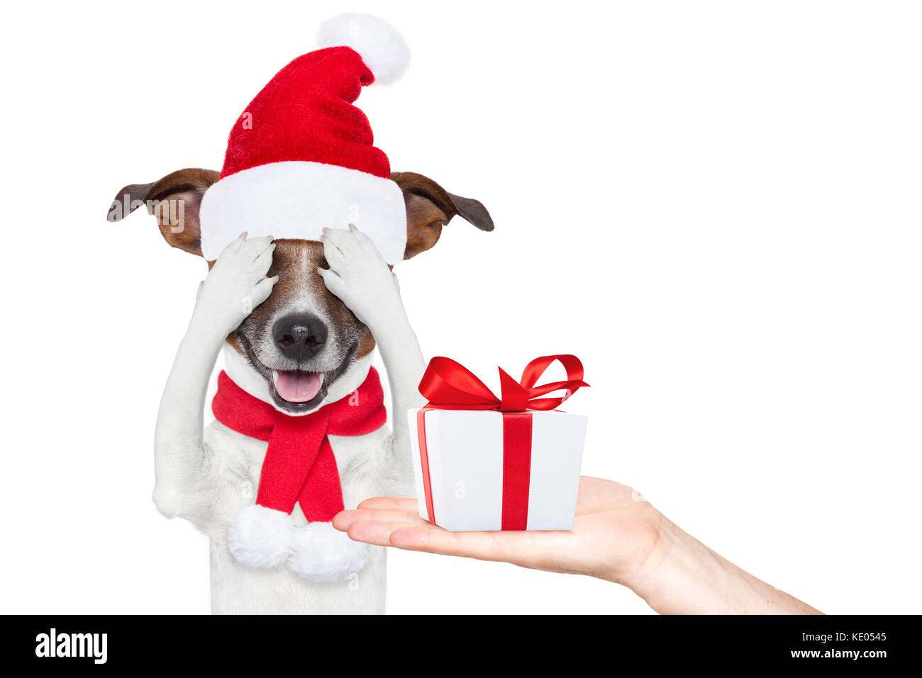 jack russell dog with red christmas santa claus hat for xmas Stock ...