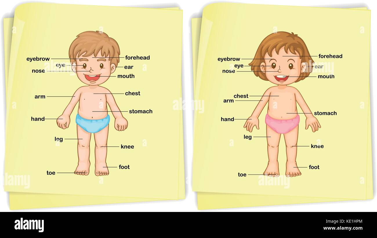 Anatomy of boy and girl illustration Stock Vector Art & Illustration ...