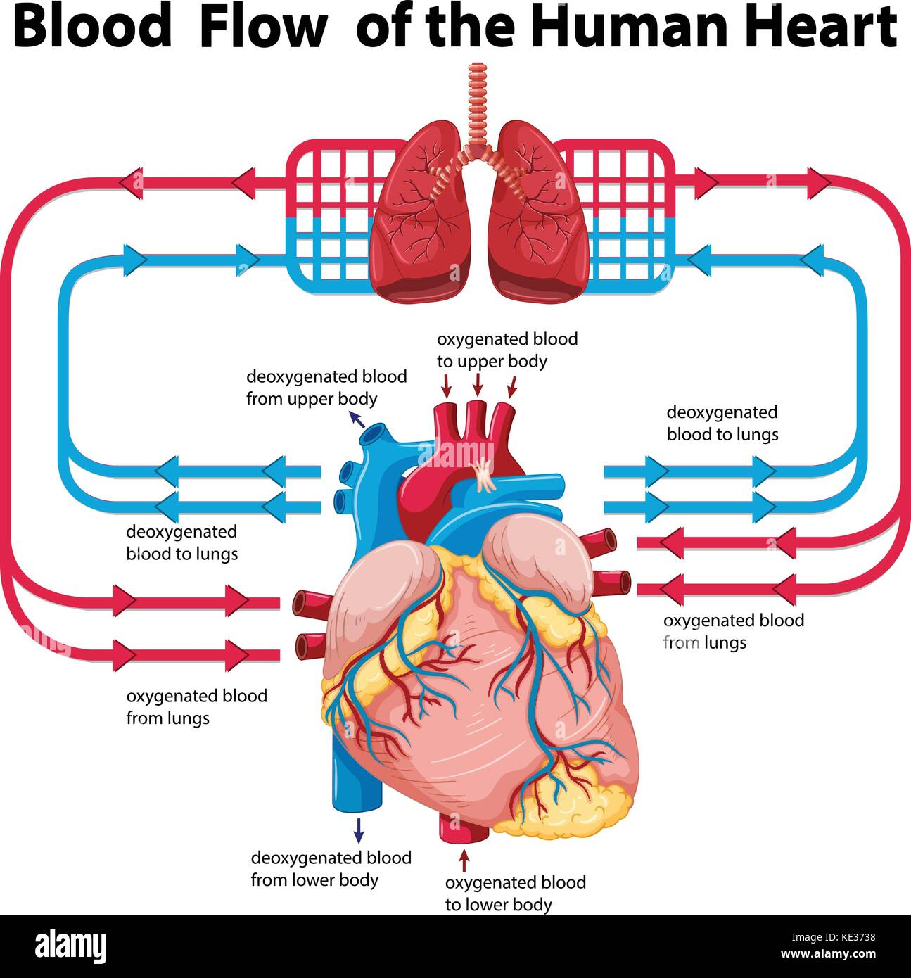 Diagram showing blood flow of human heart illustration stock diagram showing blood flow of human heart illustration pooptronica