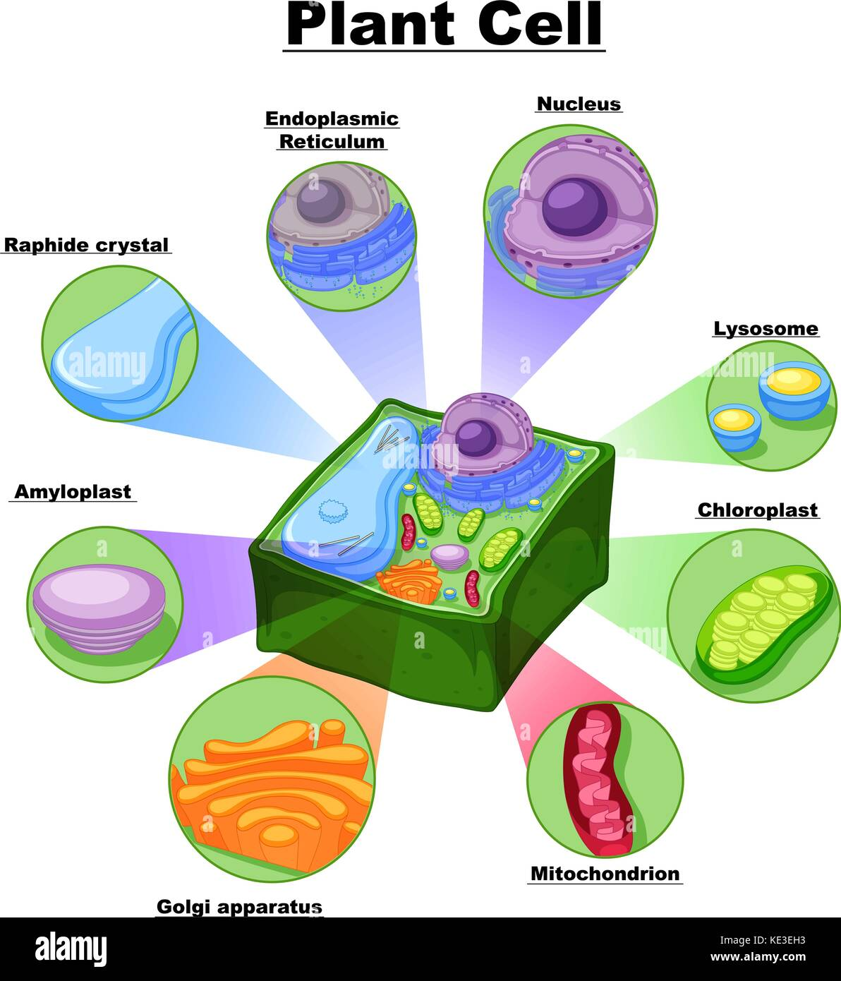 Plant cell chloroplast stock photos plant cell chloroplast stock diagram showing parts of plant cell illustration stock image pooptronica