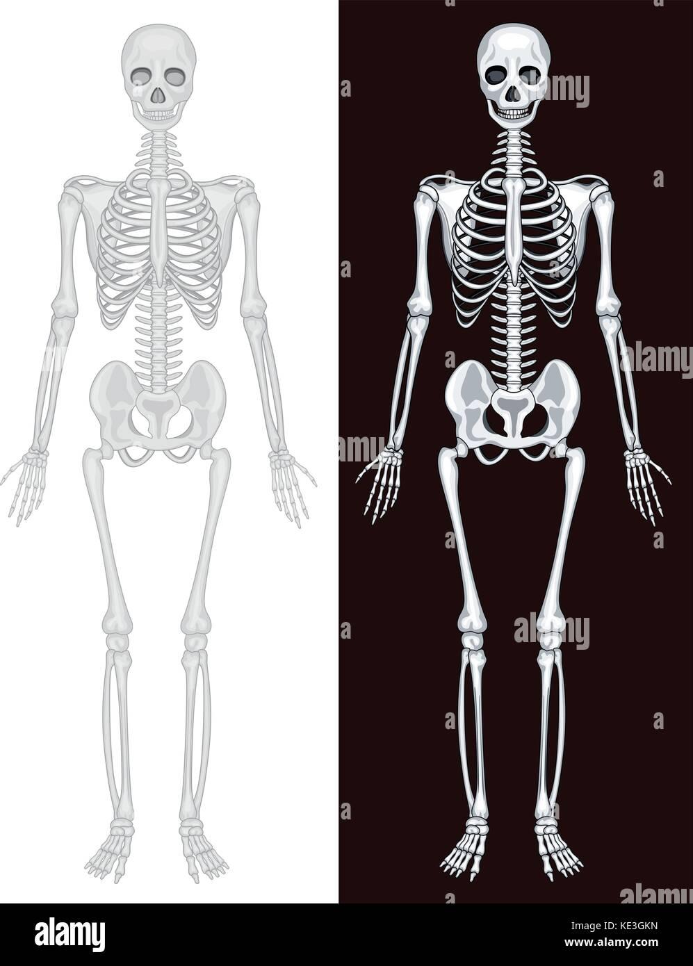 Human Skeleton In White And Black Background Illustration Stock