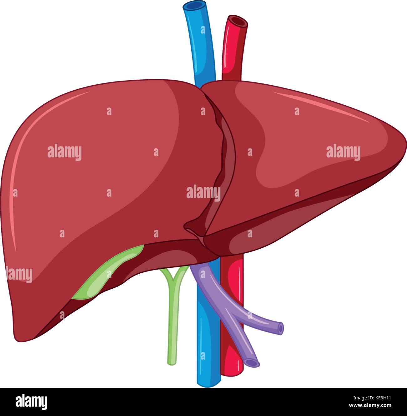 Liver Anatomy Of Human Body Illustration Stock Vector Art