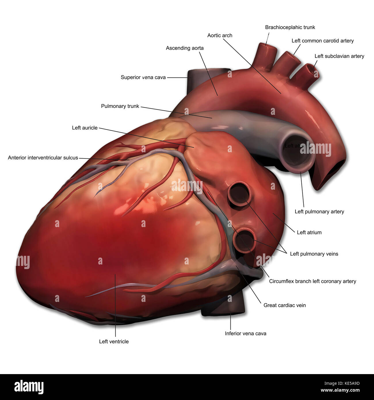Lateral view of human heart anatomy Stock Photo: 163616361 - Alamy