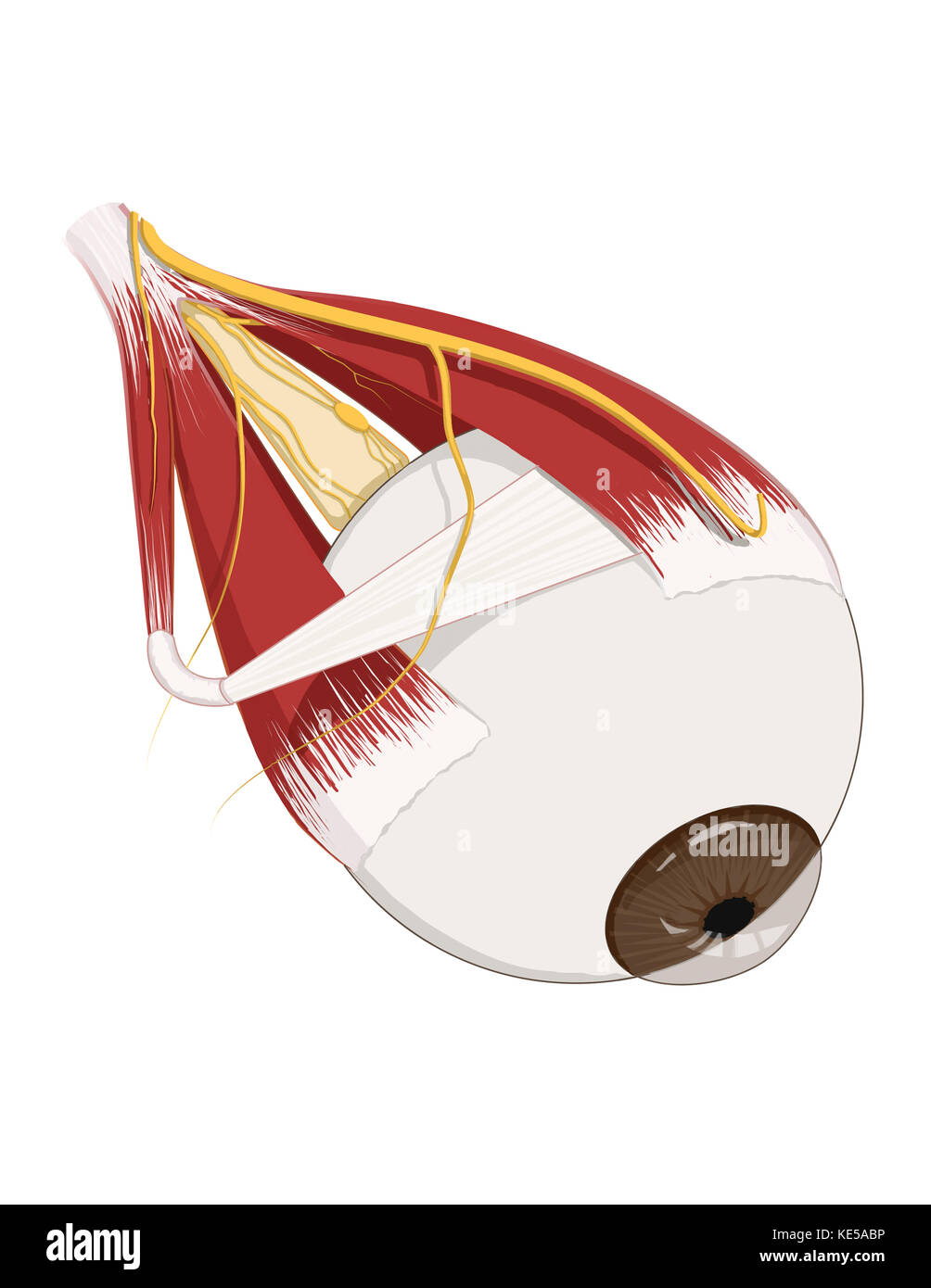 Left supramedial eye anatomy showing muscle innervation Stock Photo ...