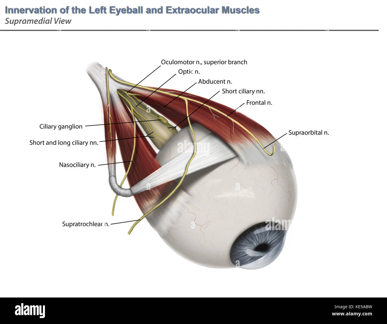 Left supramedial eye anatomy showing muscle innervation with Stock ...