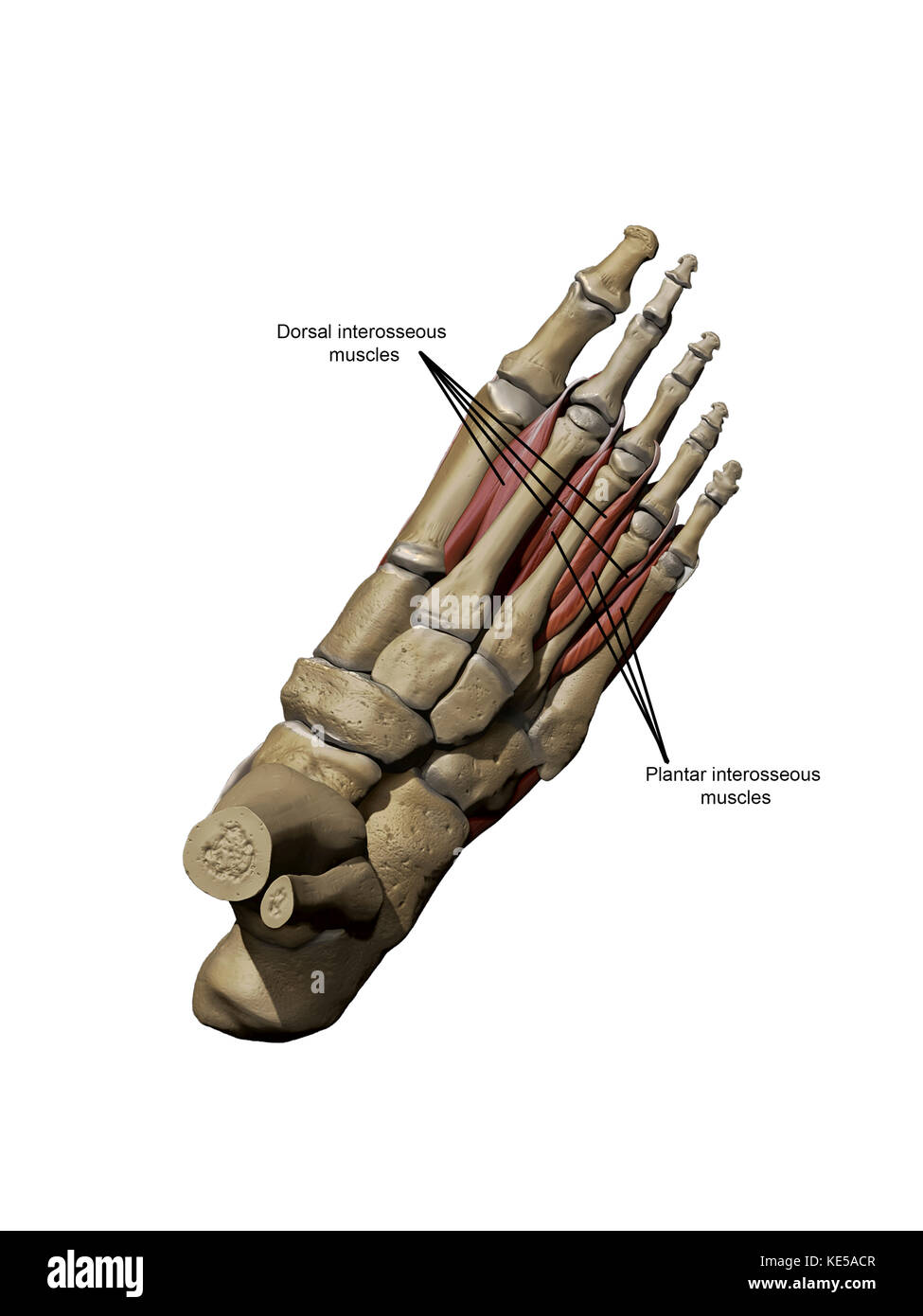 3D model of the foot depicting the dorsal deep muscles and bone