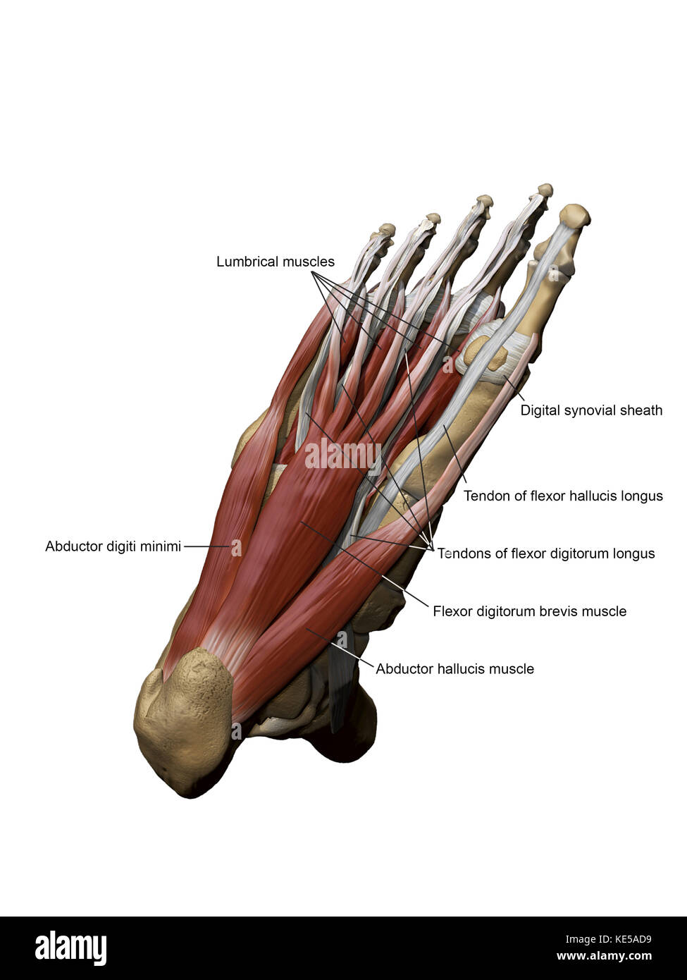 3D model of the foot depicting the plantar superficial muscles and ...