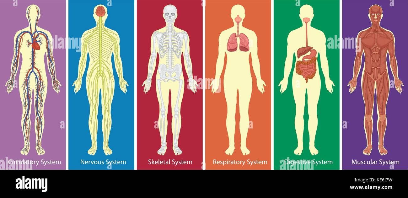 Different Systems Of Human Body Diagram Illustration Stock Vector Full