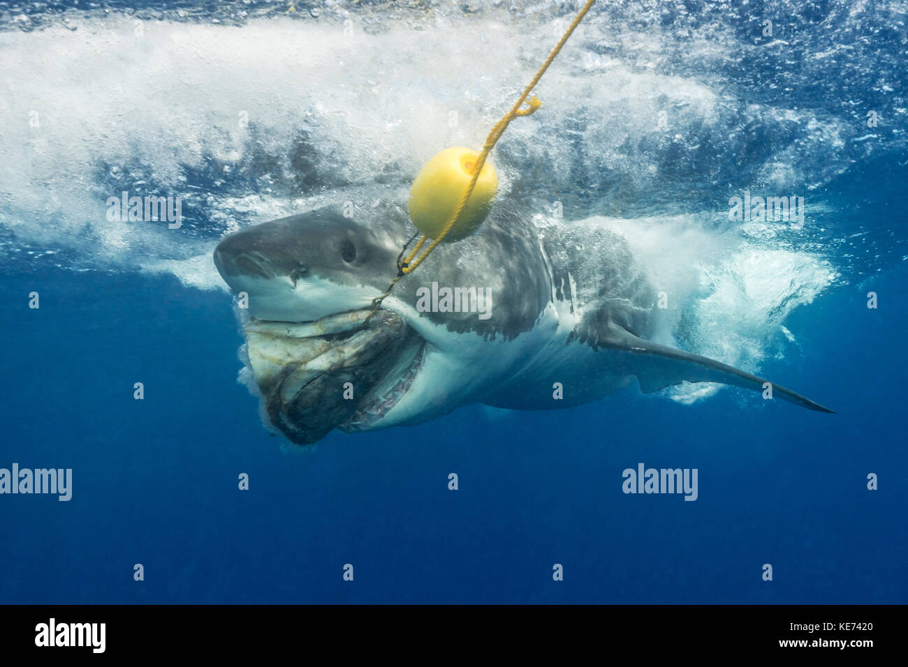 Great white shark side view stock photos great white for Guadalupe island fishing