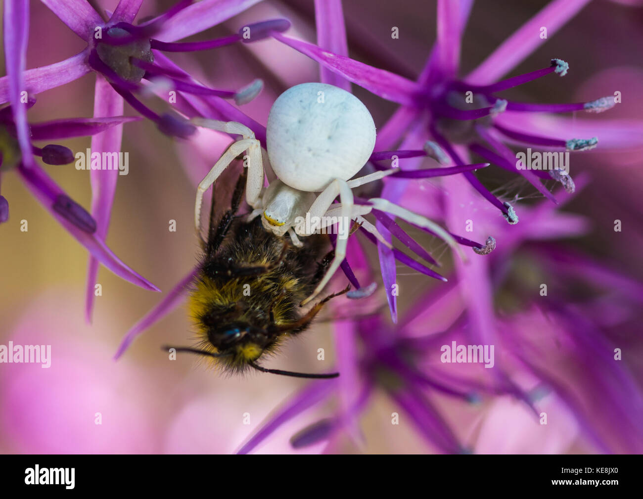Crab spider preying bumble bee garden spiders spiders flower spiders - A Macro Shot Of A Crab Spider Feeding On A Bumblebee Stock Image