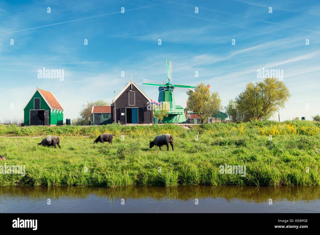 netherlands windmill cow stock photos u0026 netherlands windmill cow