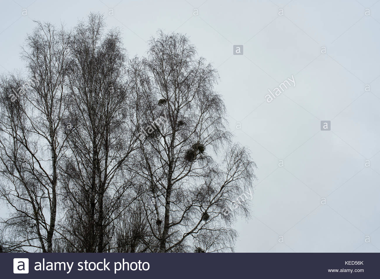 Mistletoe pattern stock photos mistletoe pattern stock images tops of bare wintry silver birch trees with bunches of mistletoe a symbol of buycottarizona Image collections