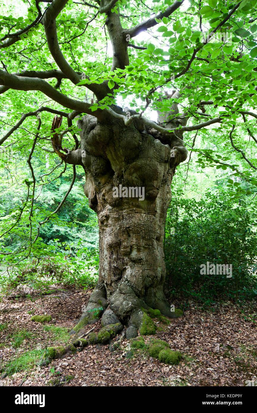 European Beech Tree (Fagus sylvatica): ancient pollard. Burnham ...