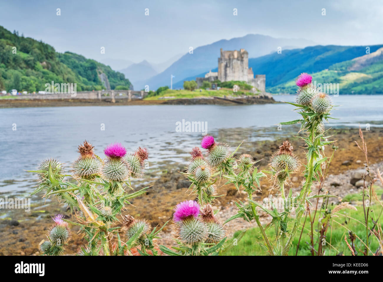 Scottish thistles the national flower and national symbol of stock scottish thistles the national flower and national symbol of scotland with the out of focus eilean donan castle buycottarizona Image collections