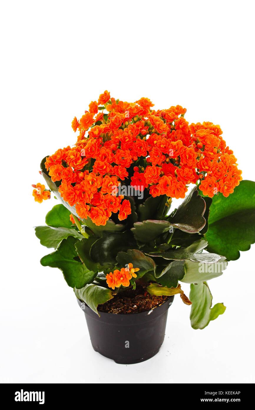 Little Orange Flowers Of Rubiaceae Tree Orange Flower Plant