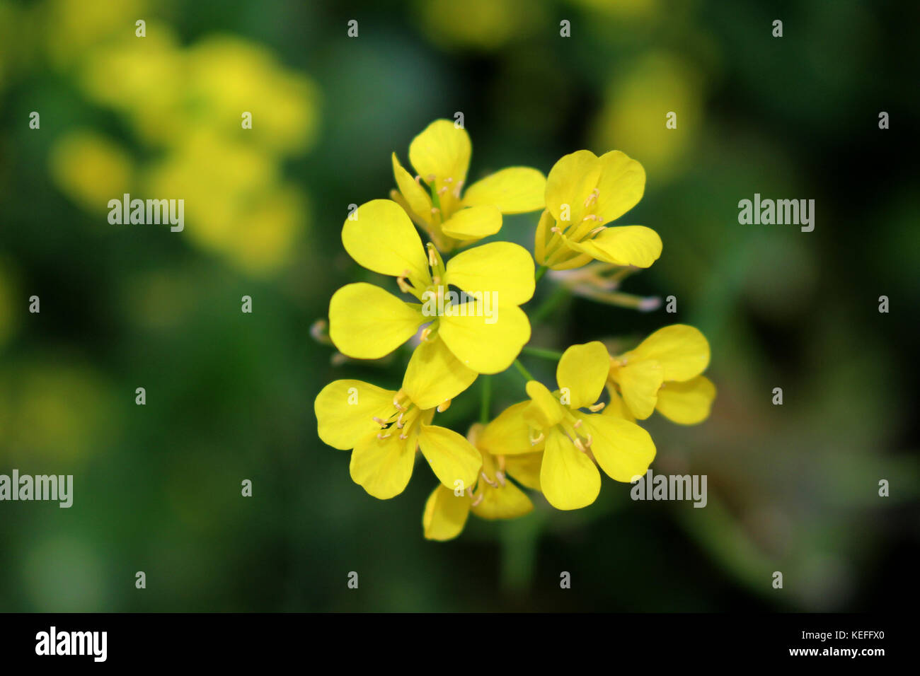 Beautiful Flower Very Common Winter Crops Flower Provably One Of