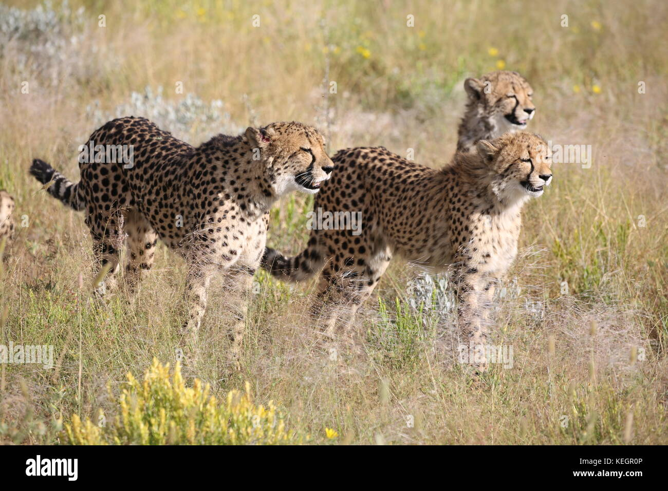 Geparde Cheetahs In Namibia In Steppenlandschaft Auf Einer Safari
