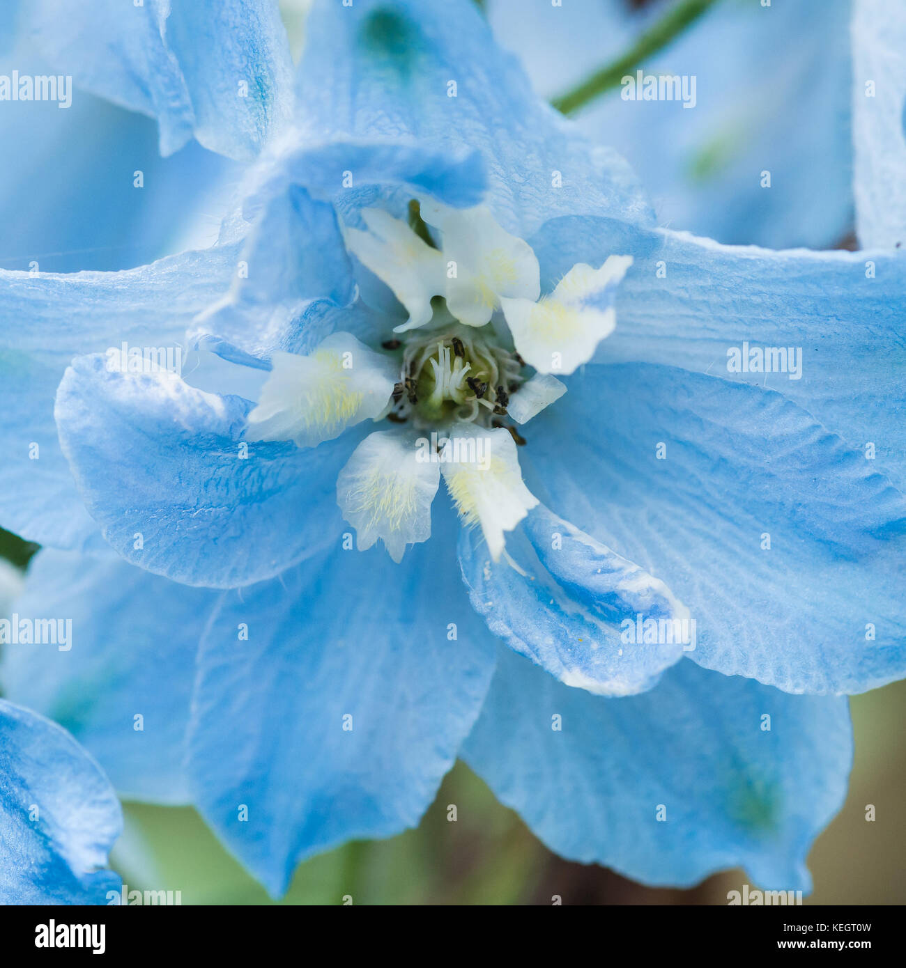 A macro shot of the light blue flowers of a delphinium stock photo a macro shot of the light blue flowers of a delphinium izmirmasajfo