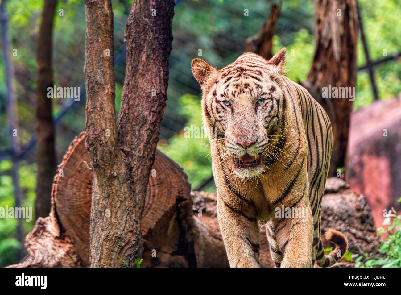 closeup of a roaring white tiger looking away with a green flora out