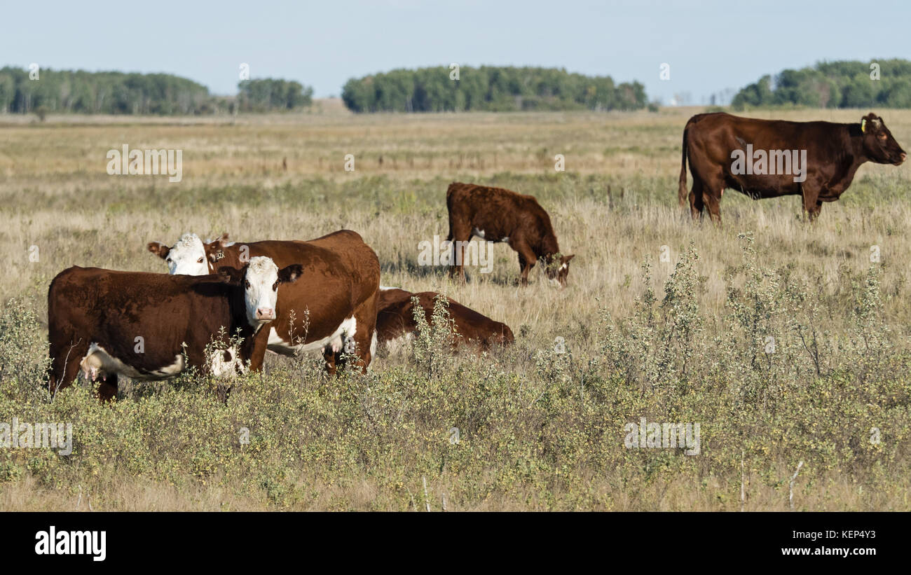 beef cattle production and trade pdf