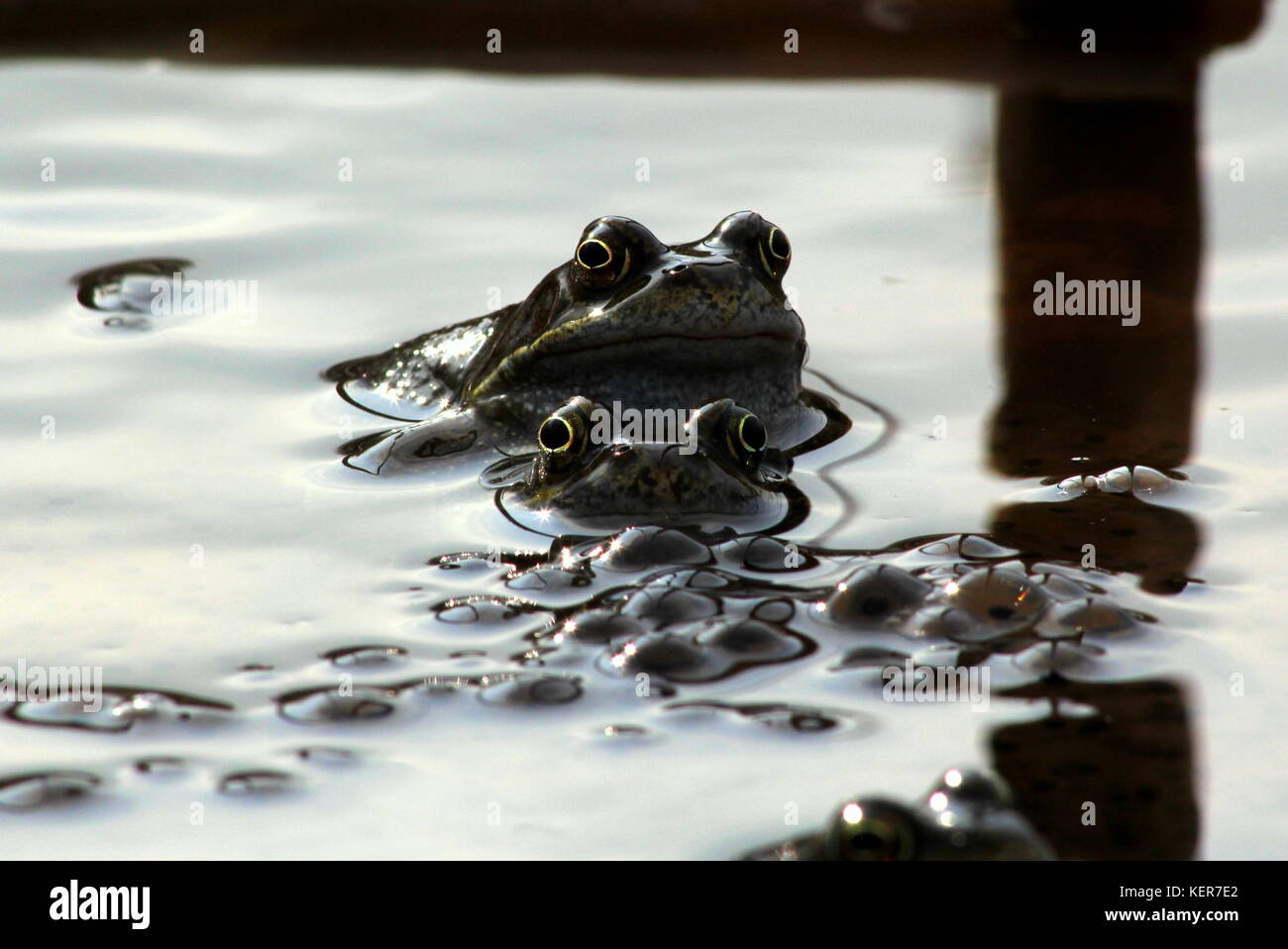 marsh frogs stock photos u0026 marsh frogs stock images alamy