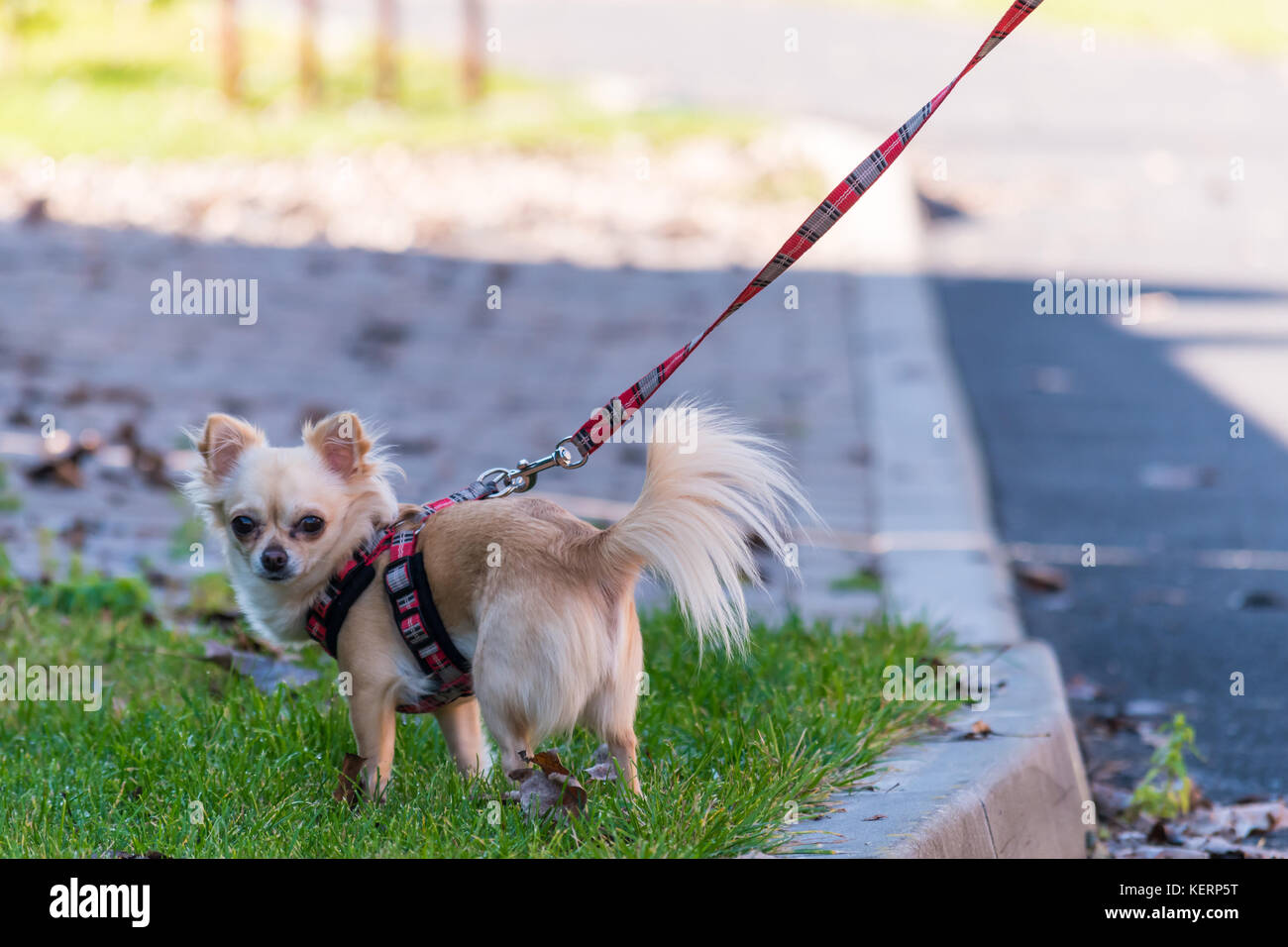 Chihuahua On Lead Stock Photos & Chihuahua On Lead Stock Images ...
