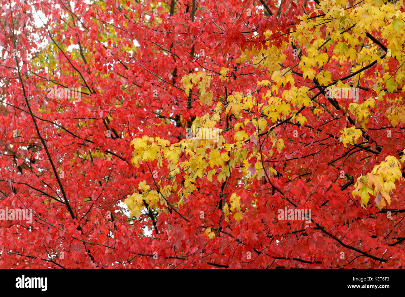 red-and-yellow-fall-foliage-of-maple-tre