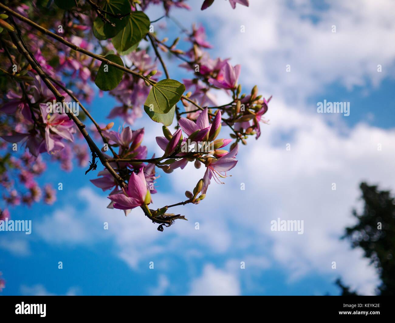 Pink flower on acacia tree with blue sky stock photo 164106166 alamy pink flower on acacia tree with blue sky izmirmasajfo