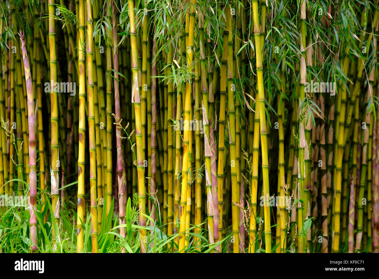 Bambus Wald Trebah Garden Mawnan Smith Bei Falmouth Cornwall