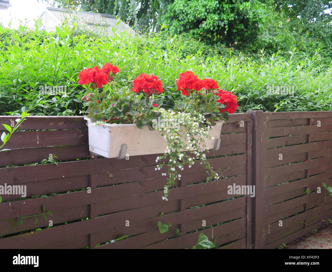 Red Geraniums In White Flower Box On Brown Lattice Fence Stock Photo