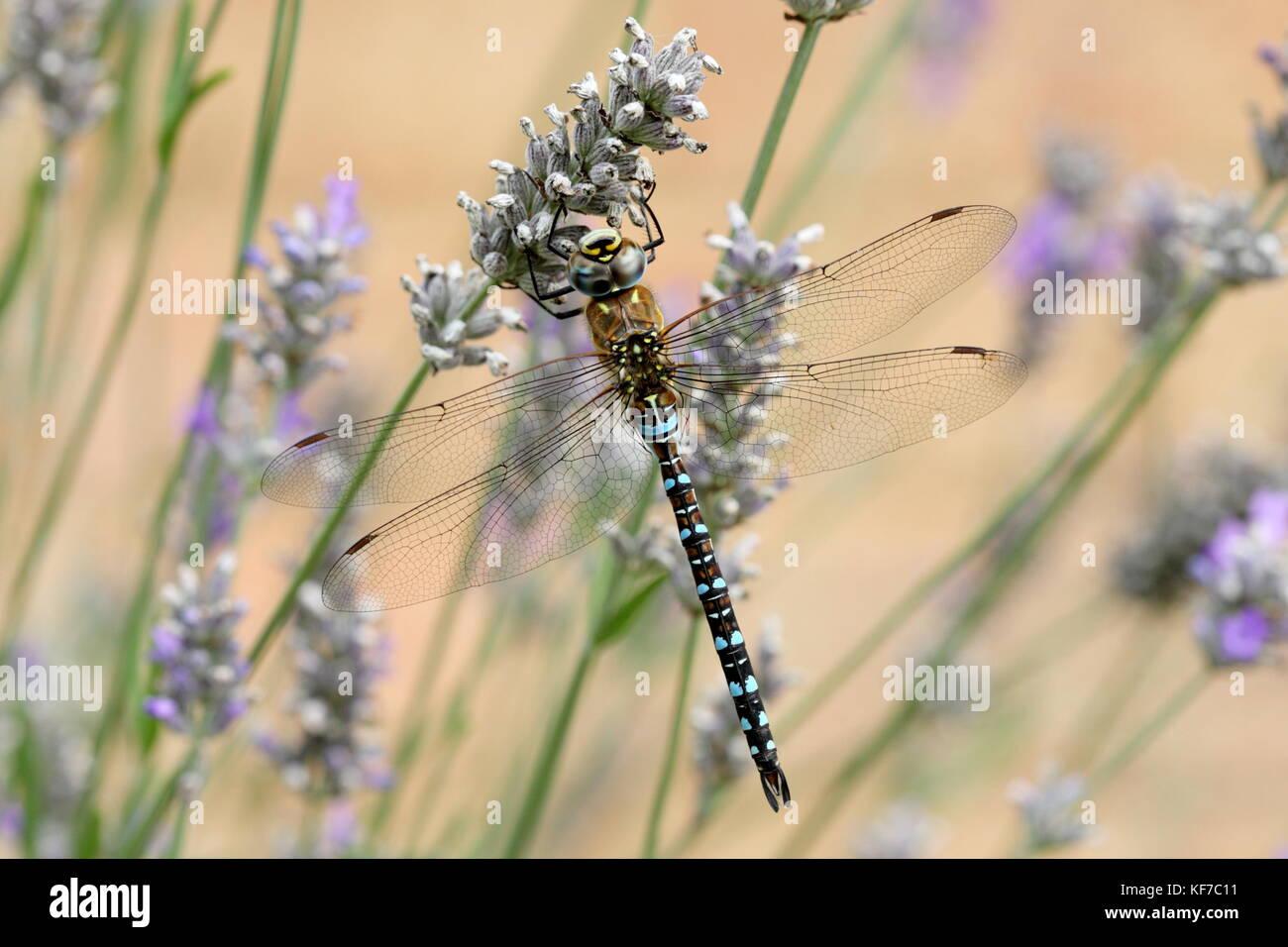 dragonflies flowers stock photos u0026 dragonflies flowers stock