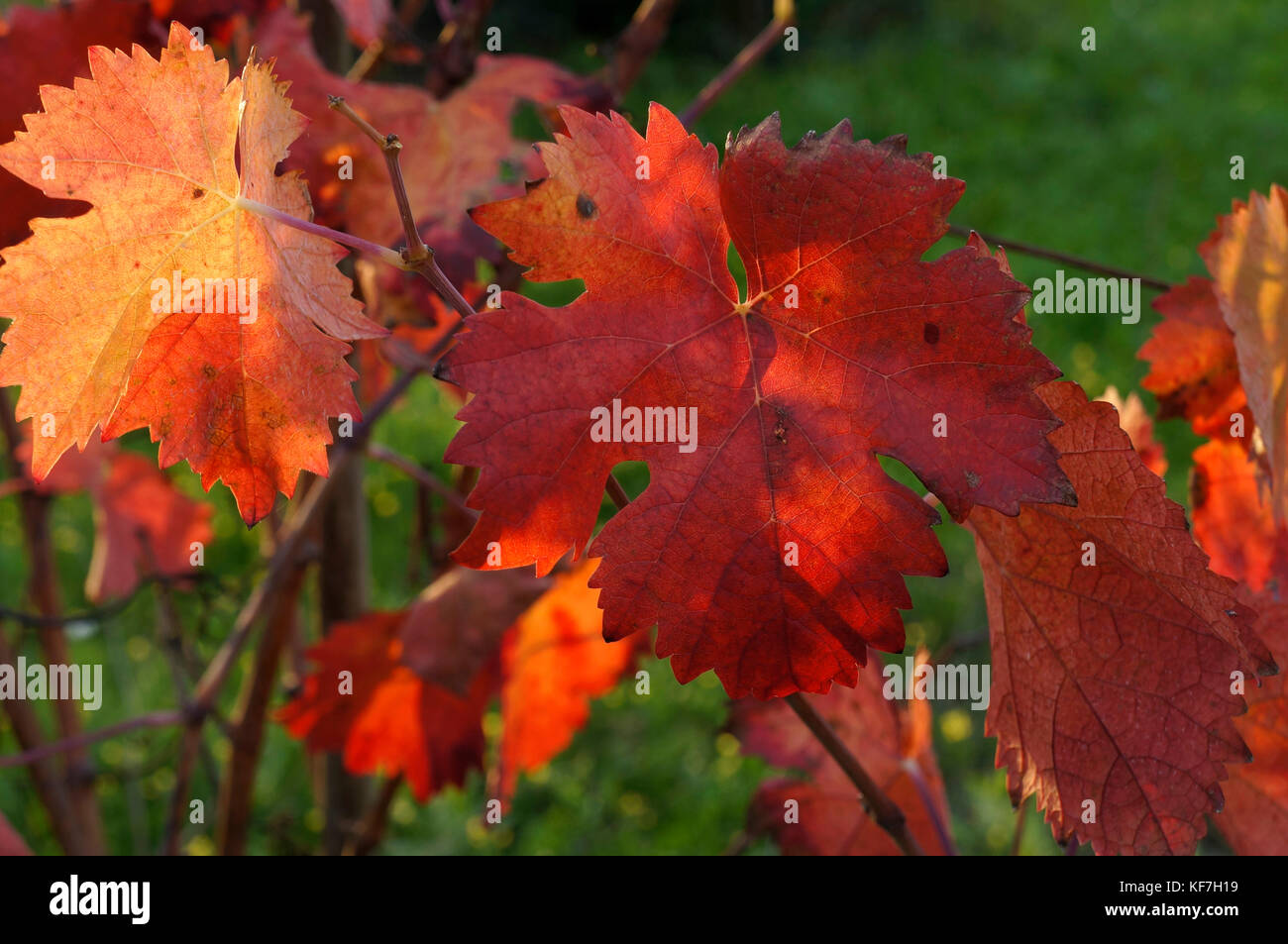 autumn time vines with leaves in shades of yellow red and orange