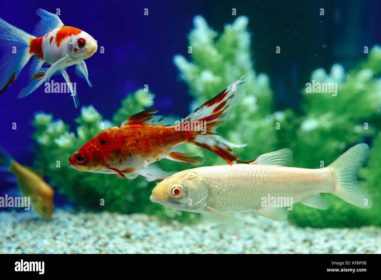 Yellow and Red Goldfish Swimming In Aquarium Stock Photo: 164306167 ...