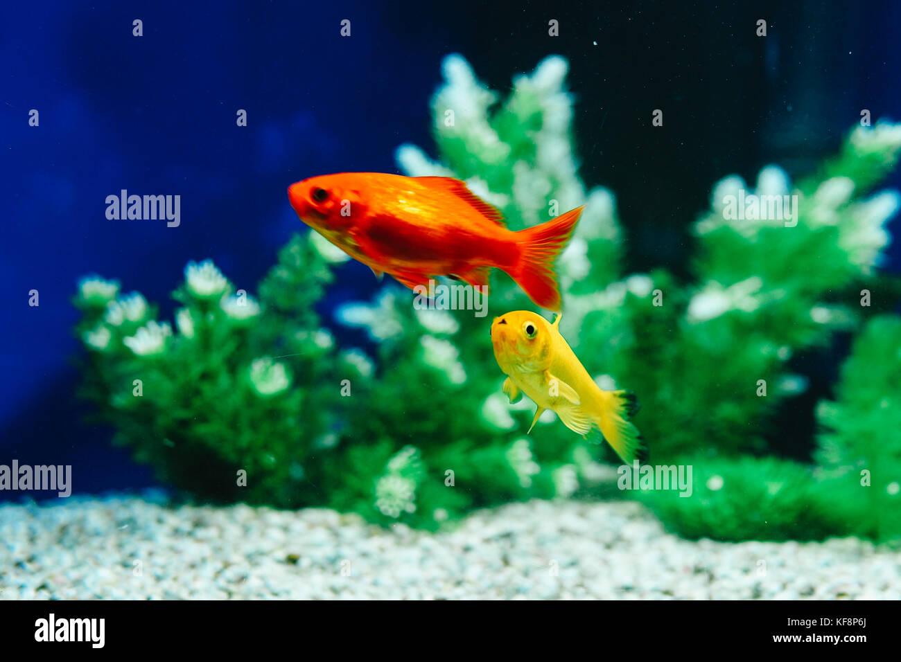 Yellow and Red Goldfish Swimming In Aquarium Stock Photo: 164306202 ...