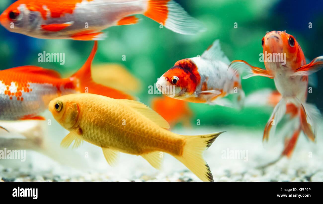 Yellow and Red Goldfish Swimming In Aquarium Stock Photo: 164306290 ...