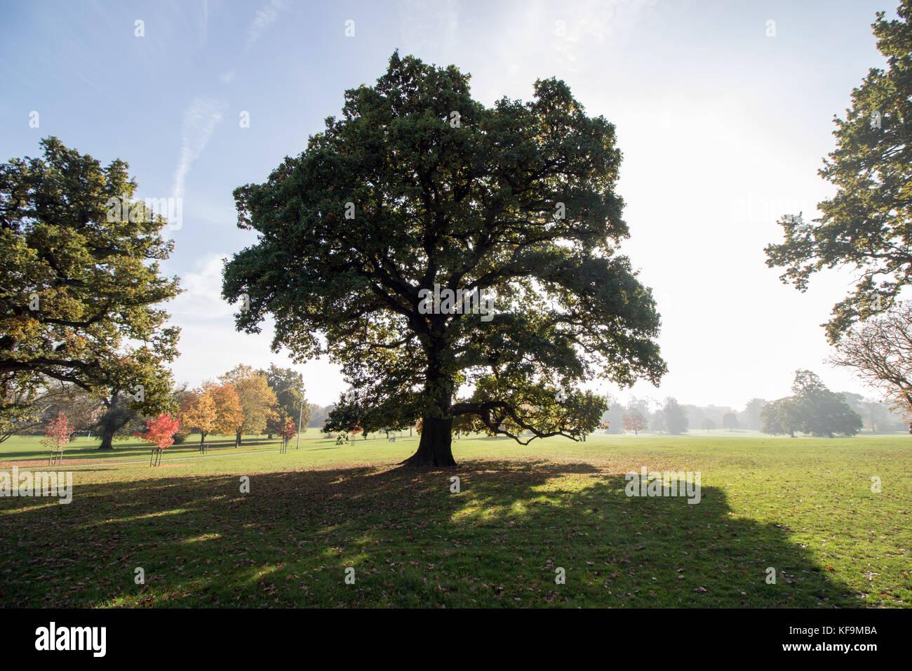 Backlit Oak Tree Stock Photos Backlit Oak Tree Stock